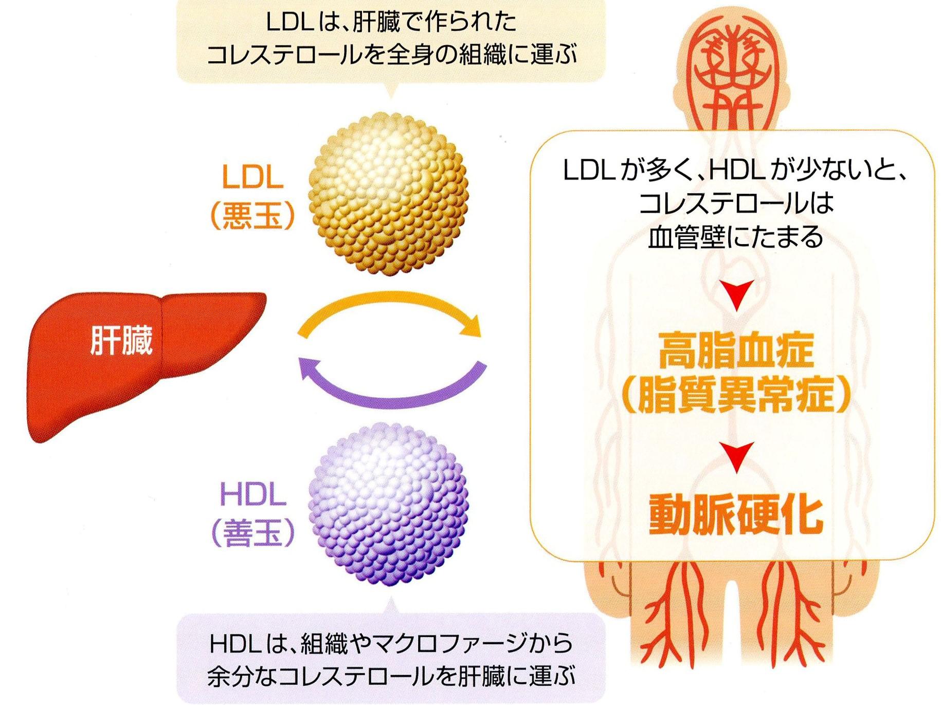 HDLとLDL