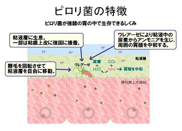 抗体 検査 ピロリ ヘリコバクター 「ヘリコバクター・ピロリ感染胃炎」に対する除菌治療に関するQ&A一覧|疾患Q&A|医療関係のみなさまへ|日本消化器病学会
